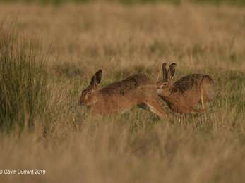 Two hares chasing each other over grazing marshes