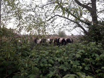 Belted Galloways at Oulton Marshes