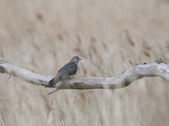 Cuckoo at Levington - Jim Farrow