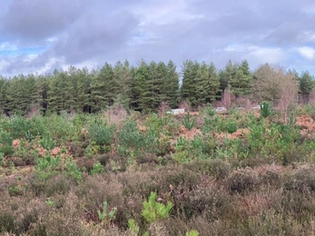 Rendlesham Forest before pine tree removal – Ben Calvesbert