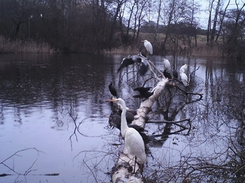 Great white egrets and cormorants at Lound Lakes - Andrew Hickinbotham