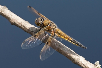 Four-spotted Chaser