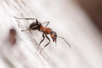 Southern Wood Ant