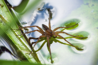 Fen raft spider Suffolk Wildlife Trust