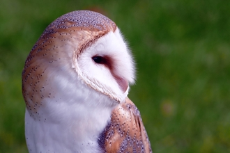 Barn owl Suffolk Wildlife Trust
