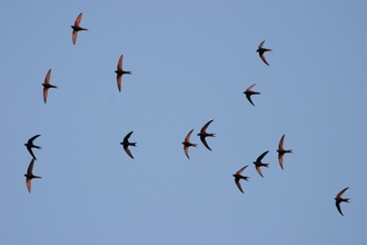 Swifts by Bill Baston