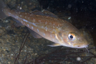 Juvenile cod by Paul Naylor http://www.marinephoto.co.uk/