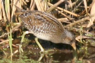 Spotted crake by Dave Appleton
