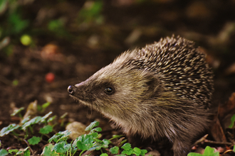 Hedgehog faring better in urban locations
