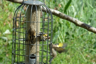 Goldfinches on feeders