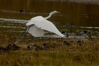 Great egret on The Slough
