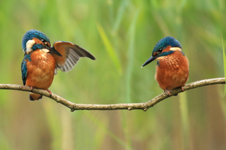 Kingfishers by Jon Hawkins