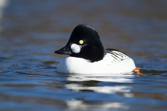 Goldeneye by Kevin Sawford