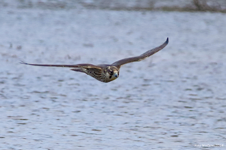 Peregrine at Lackford