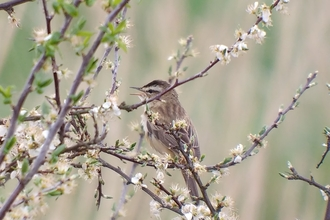 Sedge Warbler by Paddy Shaw