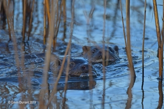 Two otters swimming at Carlton Marshes
