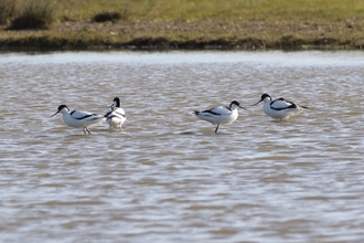 4 Avocets on Carlton Marshes scrapes