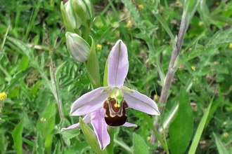 Bee Orchid Gunton Meadow
