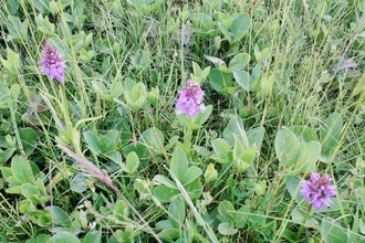 Southern Marsh Orchids surrounded by Bogbean
