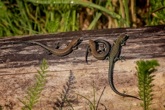 common lizards by Jim Palfrey