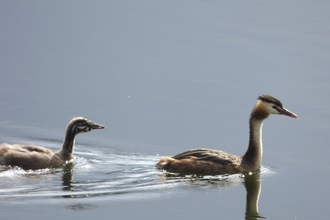 great crested grebe and young