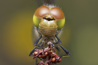 Common darter dragonfly by Andrew Neal Suffolk Wildlife Trust competition winner