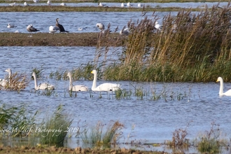 Whooper swans Carlton Marshes