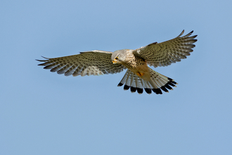 Kestrel courtesy of Matt Clarke