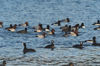 lots of pochard, tufted duck and coots