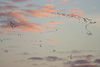 Pink footed geese by Guy Edwardes