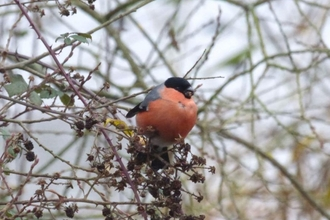 Bullfinch Lackford Lakes