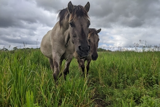 Konik ponies - Jamie Smith