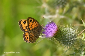 Wall Brown butterfly on thistle