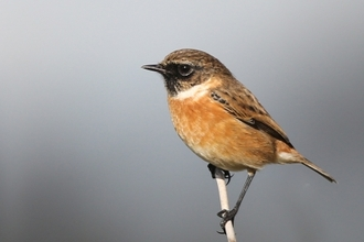 Stonechat, Margaret Holland