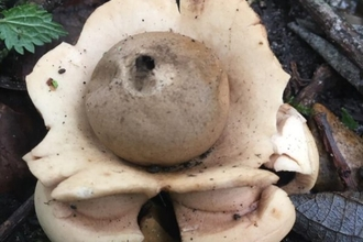 Collared earthstar at Lackford Lakes - Will Cranstoun