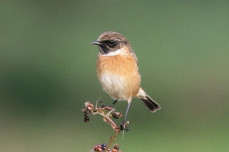 Stonechat at Redgrave & Lopham Fen - John Yaxley