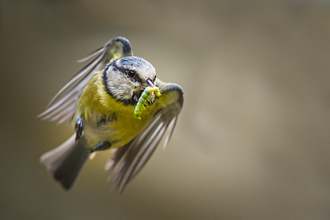 Blue tit - Gillian Lloyd