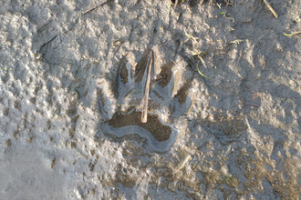 Badger print at Dingle Marshes – Jamie Smith