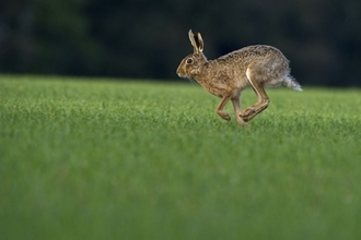 Brown Hare, courtesy of Jim Higham