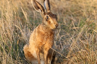 Brown hare - Jim Higham