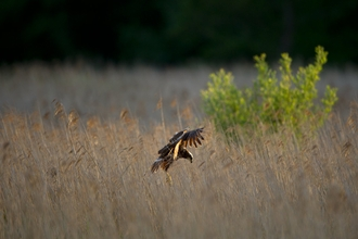 Marsh harrier - Andrew Parkinson/2020VISION