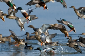 Flock of shovelers (Anas clypeata), gadwalls (Anas strepera) and teal (Anas crecca) - Bertie Gregory/2020VISION