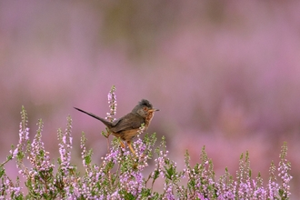 Dartford warbler - Chris Gomersall/2020VISION