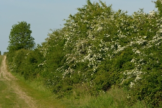 Hawthorn Hedge by Chris Gomersall
