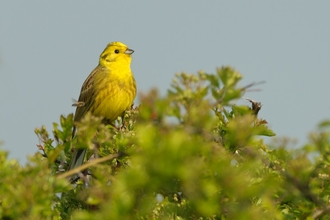 Yellowhammer - Chris Gomersall/2020VISION
