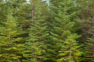 Conifer trees - Mark Hamblin/2020VISION