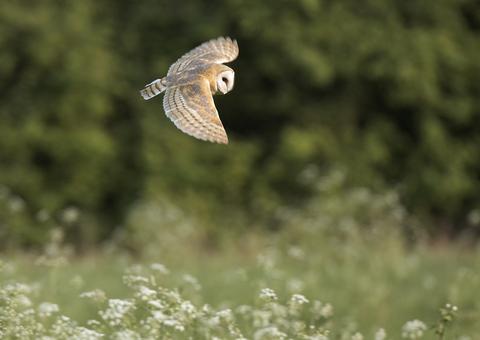 Barn Owl Suffolk Wildlife Trust