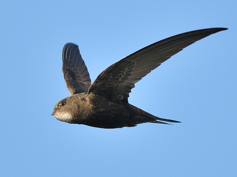 Purchasing and siting swift nest boxes and calling systems   Suffolk