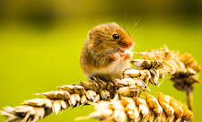 Harvest mouse Suffolk Wildlife Trust