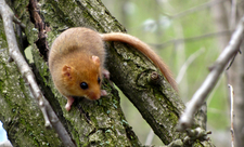 Dormouse Suffolk Wildlife Trust